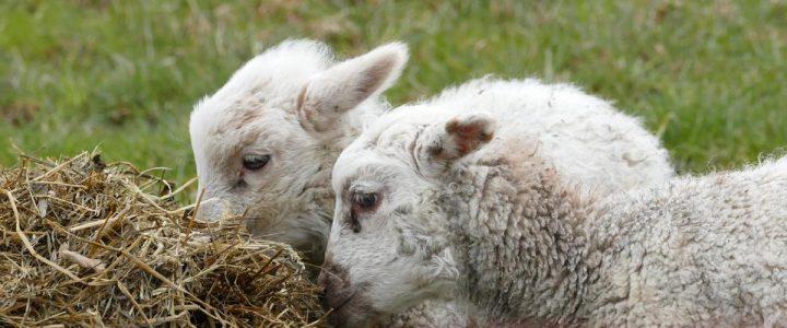Zum Sommergrillen gibt´s wieder frische Lammspezialitäten am 15.7